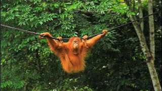 Indonesia pet orangutans released back into the wild | AFP