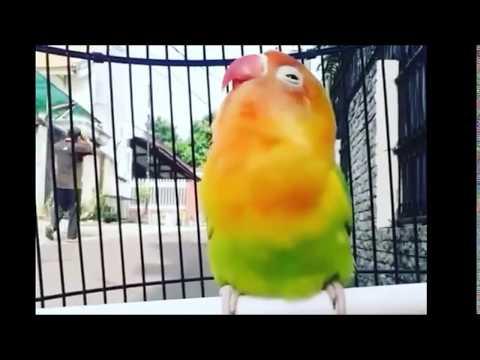 DAHSYAT!! Lovebird isian walang kecek, kenari, kapas tembak cocok untuk masteran