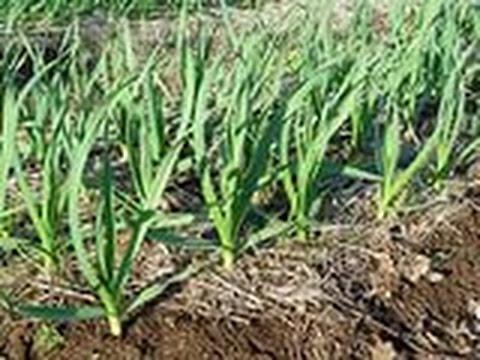 Чеснок: выращивание, сбор урожая, хранение — Правила
