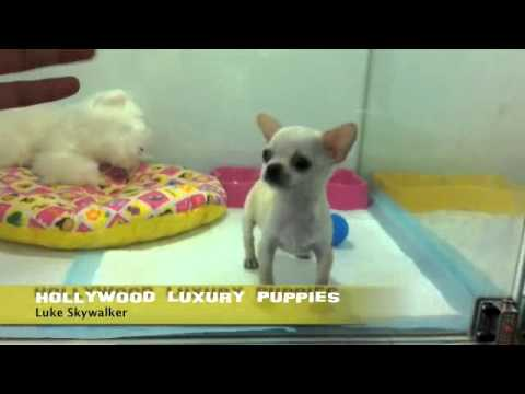Luke Skywalker Tiny Micro Teacup Chihuahua ! Hollywood Luxury Puppies