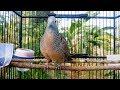 Suara Anggungan Perkutut Lokal Paling Enak Didengar Dengan Kombinasi Suara Angin Dan Burung Liar  Mp3 - Mp4 Download