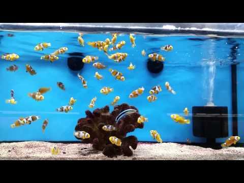 Trip to LFS. Focus on Clown Fish. 3/31/2015