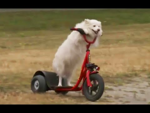 lilly the dog that drives a electric scooter vancouver b. Black Bedroom Furniture Sets. Home Design Ideas