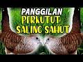 Suara Perkutut Lokal Betina Dan Jantan Saling Sahut Rame  Mp3 - Mp4 Download
