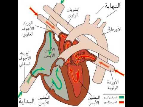 circulation sanguine