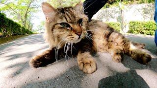 フワフワのキジトラ猫をナデナデしたら地面に転がって喜んでくれた