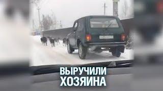 В Подмосковье водитель запряг дюжину собак для буксировки «Нивы» в гараж