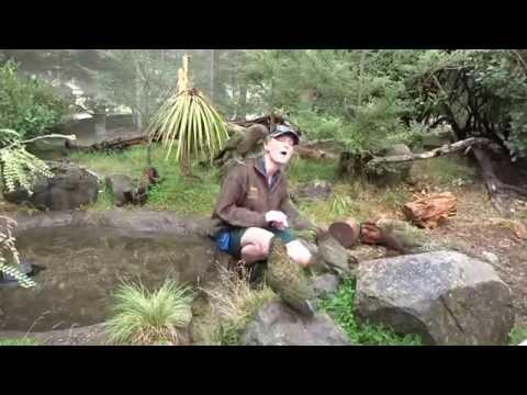 Kea Birds of NZ