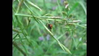 A Ladybug Walks Around 歩き回るテントウムシ