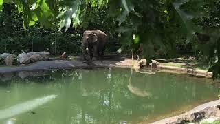 New York Bronx Zoo - Internal Train Ride 5 - Asian Elephant