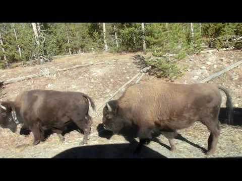 Bison with road safety education in Yellowstone