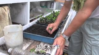 黒大豆摘心断根栽培