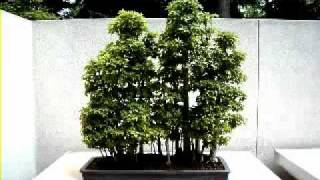 Bonsai Trees - AMAZING Examples -.mp4