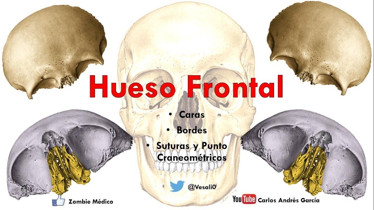 Anatomía - Hueso Frontal (Caras, Bordes, Puntos Craneométricos ...