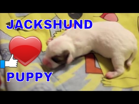 Tiny Jackshund Puppy whines for Mom | Dachshund-Jack Russell puppy
