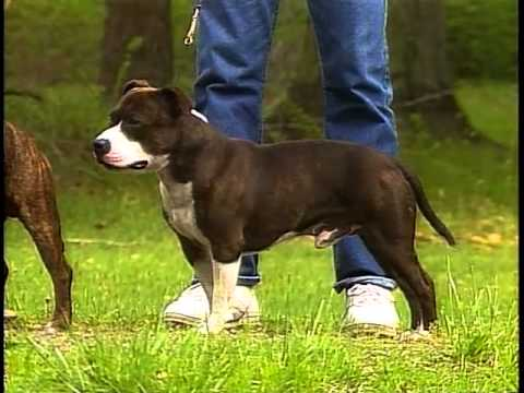 Staffordshire Bull Terrier Akc Dog Breed Series