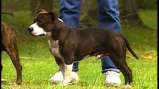Staffordshire Bull Terrier - Akc Dog Breed Series