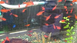 Минор рыбка - аквариумная рыбка