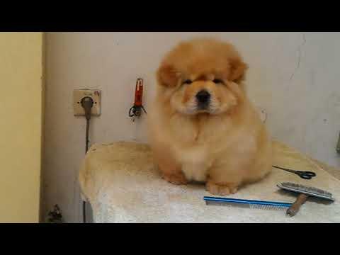 Cute chow chow puppy