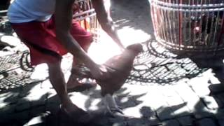 Melatih Jago Pukul Mati Mekar Gading Simpang 3 Percost