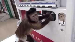 Обезьянка покупает сок из вендингового автомата(Даже обезьянка без проблем пользуется торговым автоматом, что уж говорить о людях. За вендингом будущее...., 2015-04-01T12:05:54.000Z)