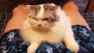 飼い主のオマタにくっついたまま離れない白モフ猫 thumbnail