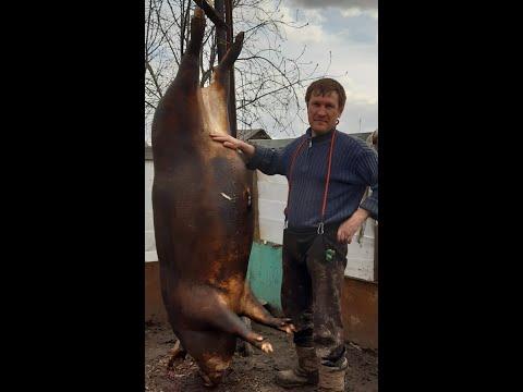 Вопрос: Что делать если встретили в лесу свиней?