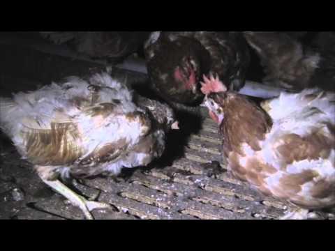 UKIP MEP Stuart Agnew's Free-Range - 'RSPCA Assured' Freedom Food Farm