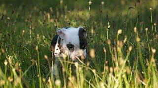 Зачем амстафф ест траву?