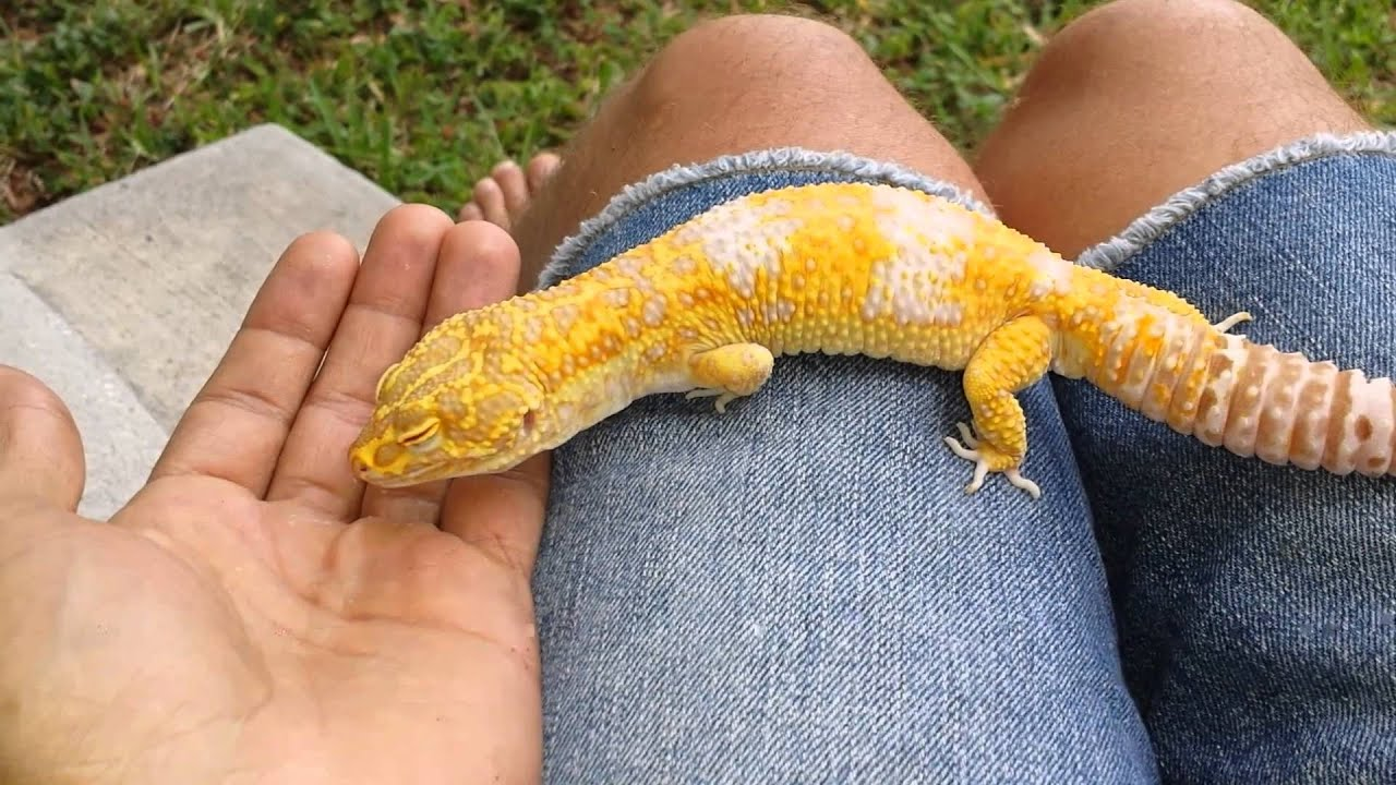 Super Giant Leopard Gecko - YouTube  Super Giant Leo...