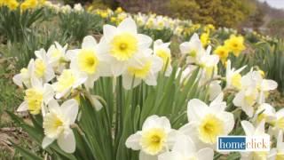 Healthier Daffodils - Homeclick Garden Tip #2