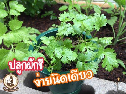 วิธีปลูกผักชีจากการเพาะเมล็ดง่ายมาก Ep.792