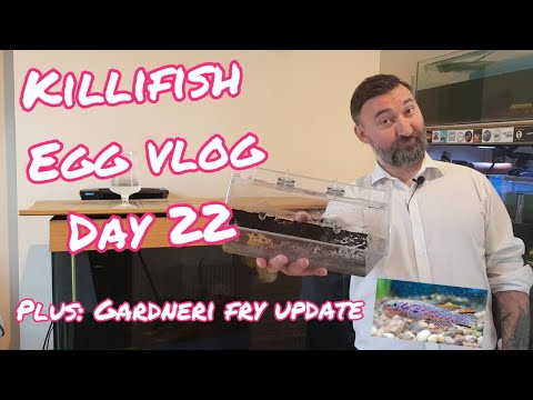 Killifish Egg Hatching Vlog Day 22 & Gardneri Fry Update