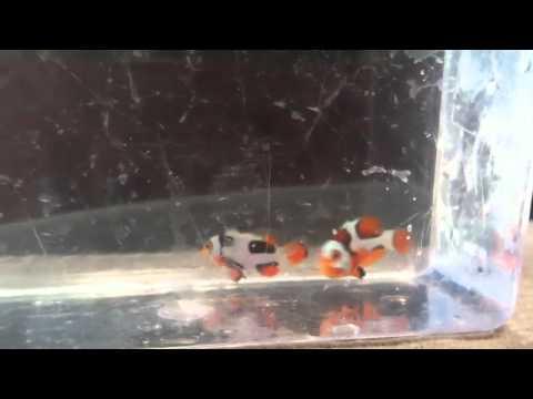 Premium Picasso Clownfish Pair