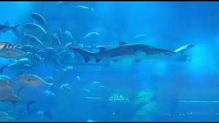 Shark fish Arab mall pound umer bhai