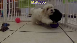 Maltipoo, Puppies For Sale, In Atlanta, Georgia, Ga,,savannah,sandy Springs,roswell