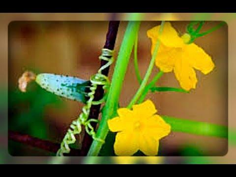 Огурцы цветут, а