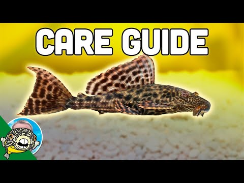 Pleco Fish Care - Plecostomus - Aquarium Co-Op