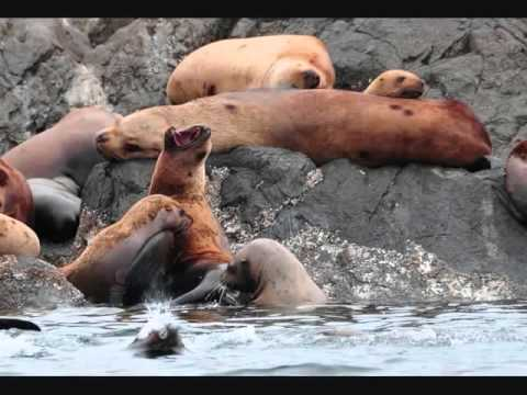 Steller Sea Lion Viewing - Alaska Private Charter Yacht