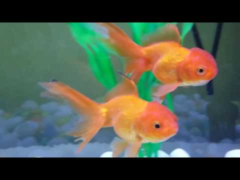 Goldfish Tank Mates | What Are The Other Fish You Can Put With Your Goldfish | Introduction