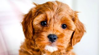 Cavapoo  The Ultimate Top 10 Pro's and Cons Guide