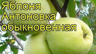 Смотреть видео Яблоня антоновка описание фото