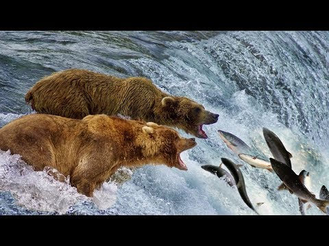 Beauty Nature & Wild – Bear catching salmon in waterfall   Wild Animals 2018