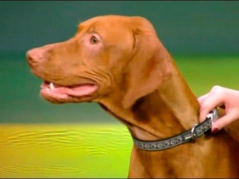 Венгерская выжла собака с идеальным характером