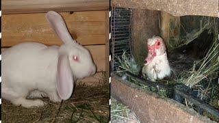 Пепельная мускусная утка садится на яйца / купил крола и ...