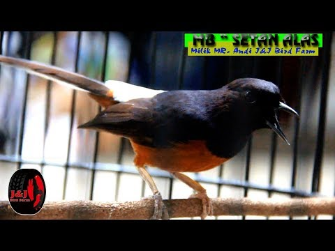 "MEDIA HOBI : Aksi Murai Batu "" SETAN ALAS ""milik Mr. Andi J&J Bird Farm."