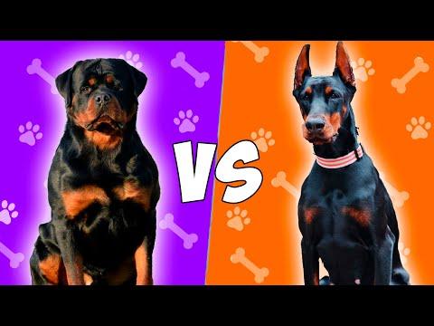 Rottweiler VS Doberman en ESPAÑOL