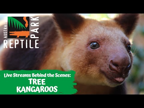 TREE KANGAROOS (LIVE FOOTAGE) | AUSTRALIAN REPTILE PARK
