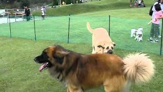 群馬県の「世界の名犬牧場」で スパニッシュ・マスティフのマックスと ...