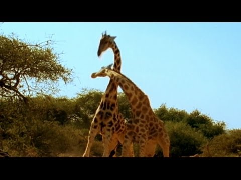 Thumbnail: Viral Video: 'Most Violent Giraffe Fight Ever | Good Morning America | ABC News